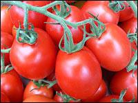 tomaten haben hochsaison und hochkonjunktur landwirtschaftskammer nordrhein westfalen. Black Bedroom Furniture Sets. Home Design Ideas