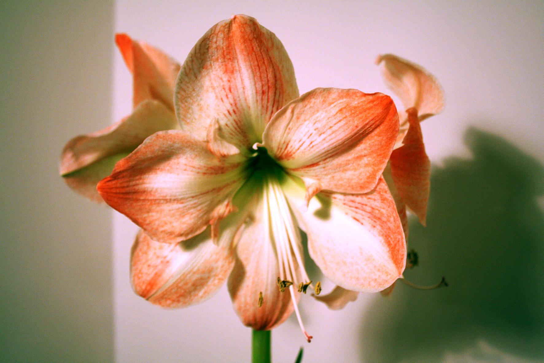 winterzeit ist amaryllis zeit landwirtschaftskammer nordrhein westfalen. Black Bedroom Furniture Sets. Home Design Ideas