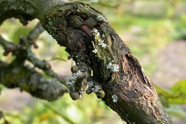 Obstbaumkrebs
