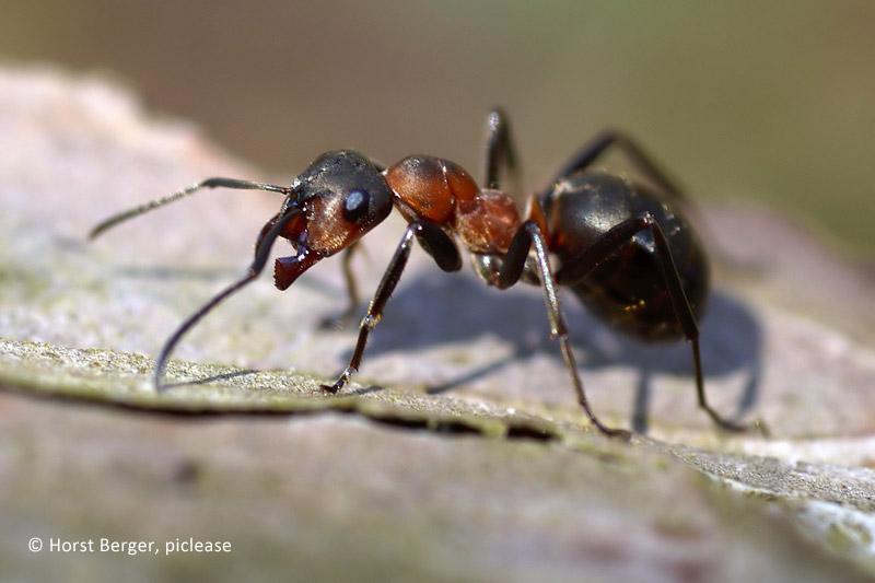 Ameisen bekmpfen im garten ameise bild vergrern with ameisen bekmpfen im garten latest ameisen - Ameisen garten loswerden ...