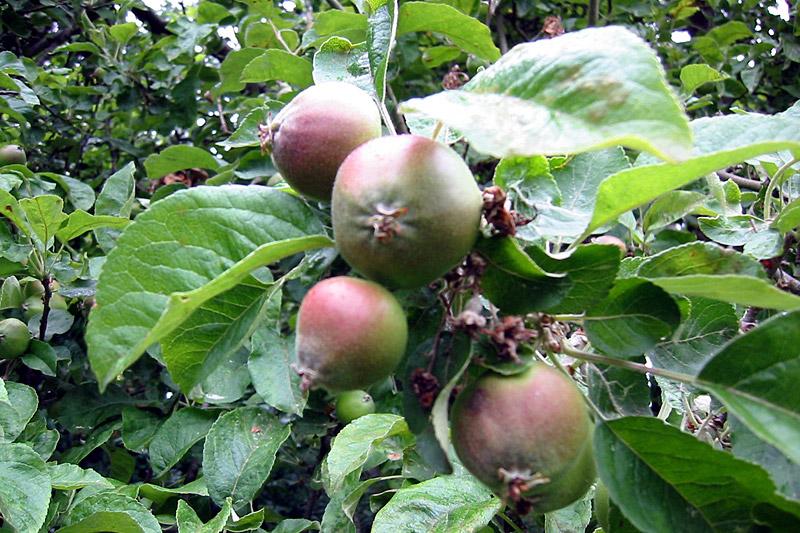Ganz und zu Extrem Jetzt fallen die Äpfel - Landwirtschaftskammer Nordrhein-Westfalen @UI_93