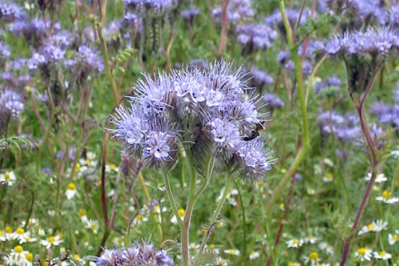 Blau violett bl ht phacelia landwirtschaftskammer nordrhein westfalen - Lila blumen bestimmen ...