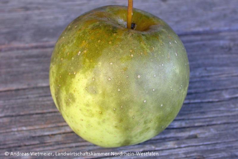 Apfelbaumschnitt Verhindert Rufleckenkrankheit