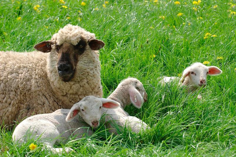 Schaf Vagina ist wie Menschen